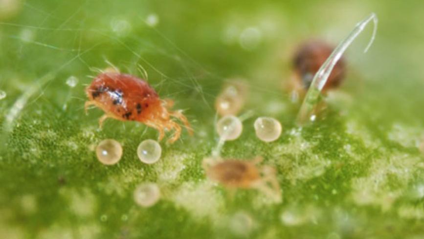 Павутинний кліщ розширює ареал заселення культур