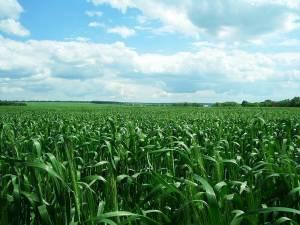 Фунгіцидний захист пшениці: як обрати оптимальний препарат?