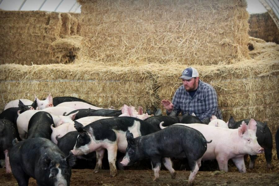 Без обліку й автоматизації свинокомплекс не може бути ефективним