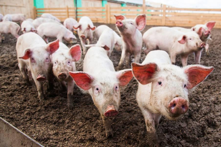 Свині забійних кондицій подорожчають на 2 – 10%