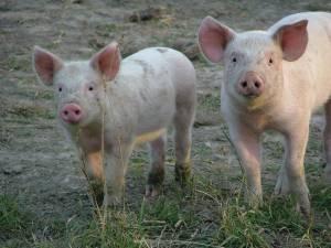 Якою буде ціна на свиней забійних кондицій першого тижня вересня?