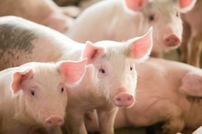 Точне свинарство в Україні: чи реально отримати собівартість 15 грн/кг