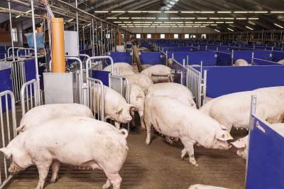 8 млрд гривень — стільки українці щороку платять за перевитрати в свинарстві