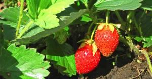 Як вирощувати полуницю?