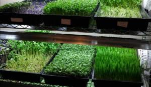 Мікрогрін: природний бізнес для кожного