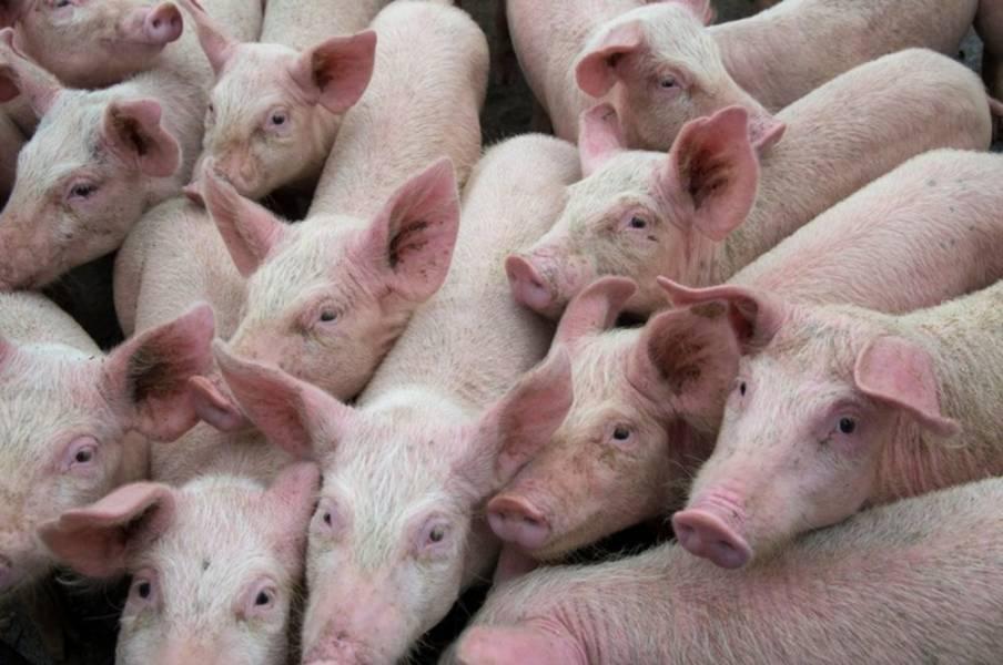 Коронавирус наносит ущерб американской свиноводческой отрасли