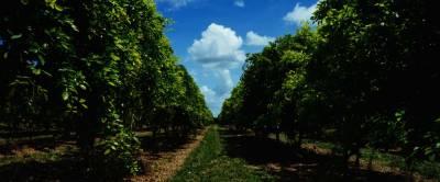 Понгамия — дерево, которое поможет удовлетворить потребности в биотопливе