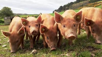 45–46 грн/кг наступного тижня — такі закупівельні ціни на живих свиней прогнозують переробники на 24–30 серпня 2020 року
