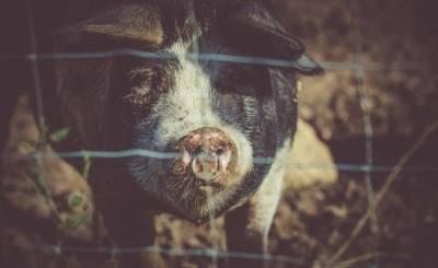 В Китаї навмисне поширюють вірус АЧС дронами, щоб знизити вартість свинини