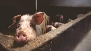 Що буде зі свинарством у 2019 році: основні проблеми та способи їх вирішення
