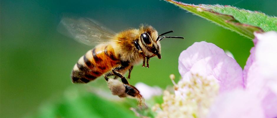 Як баварська петиція щодо захисту бджіл може змінити сільське господарство