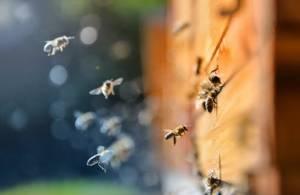 """Beeflow: як вирощувати """"супер бджіл"""" та покращувати врожайність"""