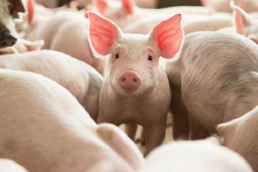 Якими будуть ціни на свиней забійних кондицій 7 – 13 вересня 2020 року