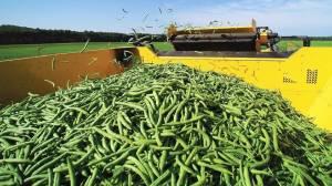 Фасоль — следующая нишевая культура для экспорта