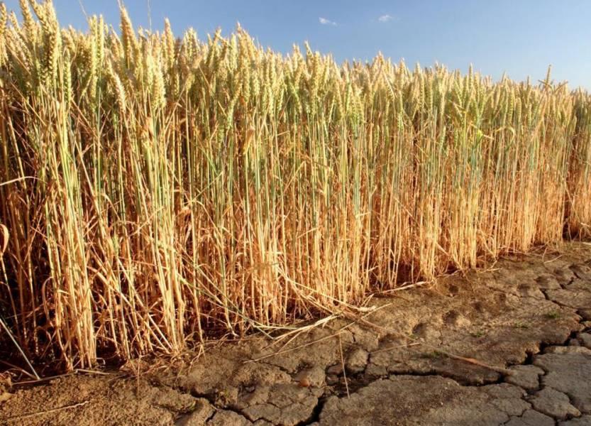Супутниковий моніторинг: посуха сильно вдарила по озимині на півдні України