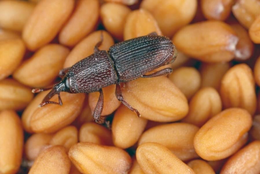 Органические инсектициды: природная защита урожая зерновых от насекомых вредителей