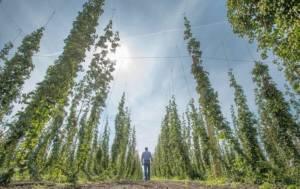 Проблемы украинского хмелеводства