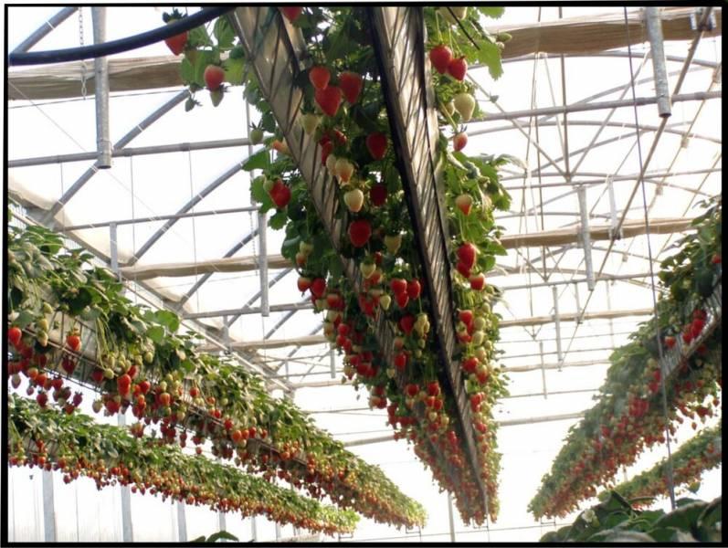 Система ротации рядов для гидропонного выращивания клубники