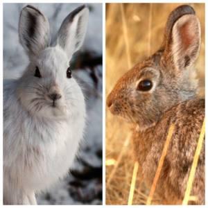 6 главных отличий между кроликом и зайцем