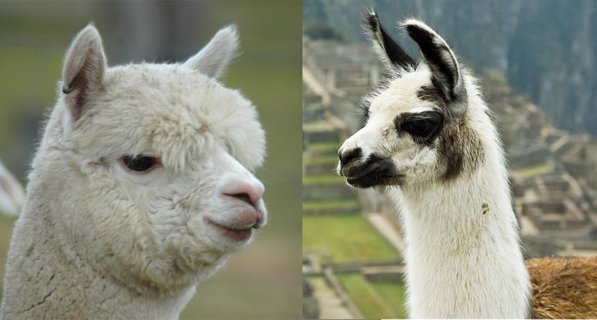 8 отличий между альпакой и ламой