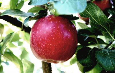 Американские фермеры готовят яблочную революцию