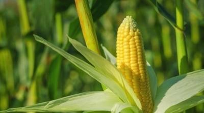 Bayer и Gingko Bioworks хотят заставить кукурузу обеспечивать себя азотом