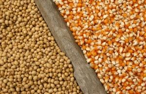 Чередование кукурузы и сои повышает урожай обоих. И спасает нас от глобального потепления