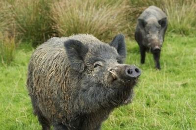 Европейских аграриев терроризируют кабаны. Дроны помогут оценить ущерб