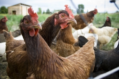 Фермеров призывают не использовать антибиотики среди здоровых животных