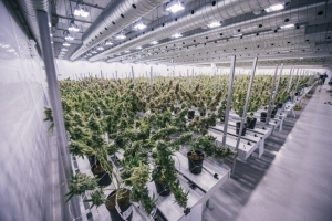 Фотоэкскурсия по крупнейшей ферме, которая выращивает марихуану