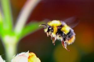 Фунгициды негативно влияют на популяцию шмелей и пчёл — учёные