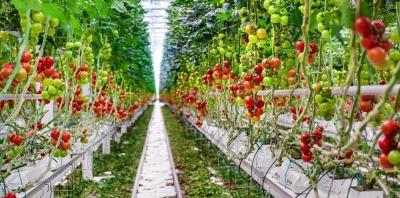 Гидропонная ферма круглый год работает в режиме 54 тонны помидоров в неделю