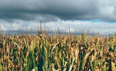 Глобальное потепление сократит урожай пшеницы вдвое — ученые