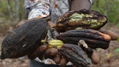 Глобальное потепление наносит удар по империи шоколада