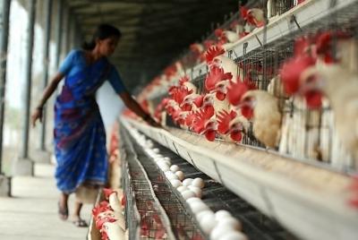 """Индийские фермеры массово используют антибиотики """"последней линии обороны"""""""