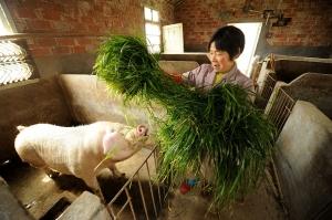 Китай обустраивает огромные свинофермы