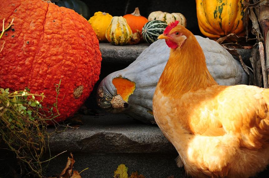 Куриные тайны: 5 вещей, которых вы не знали про этих домашних птиц