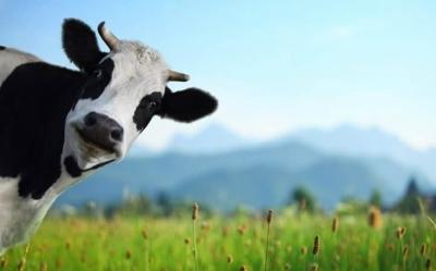 Лужи с грязью: как сделать коров счастливее