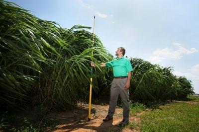 Не просто просо: еще одна культура станет основой для биотоплива