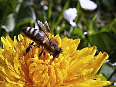 Пчелы вымрут через 20 лет, и мы их не спасем