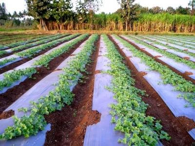 Пятилетний эксперимент показал влияние разной мульчи на урожай. Результат неоднозначен