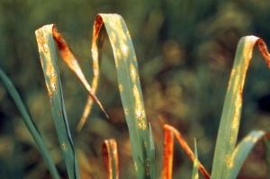 Рисовый грибок победят благодаря белку
