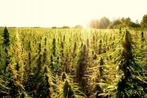 США собираются легализовать коноплю на федеральном уровне