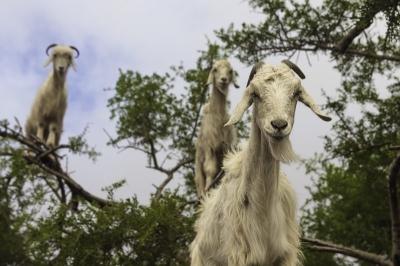 Как козы повышают производство одного из самых редких масел в мире