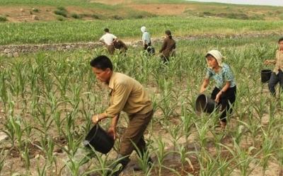Удобрение полей человеческими экскрементами опасно. Кейс Северной Кореи