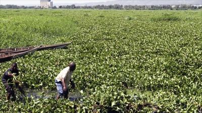В Африке делают удобрение из водяного гиацинта. Результат впечатляет