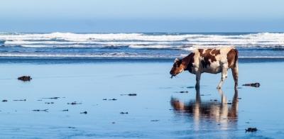 Водоросли помогут коровам вырабатывать меньше метана