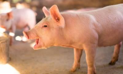 Точне свинарство: ТОП-8 рішень для ефективної роботи свинокомплексів