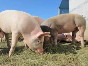 """Данські й інші іноземні """"секретні"""" технології у свинарстві – це міф"""