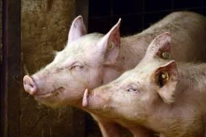 42—43 грн/кг наступного тижня – такі закупівельні ціни на живих свиней прогнозують переробники